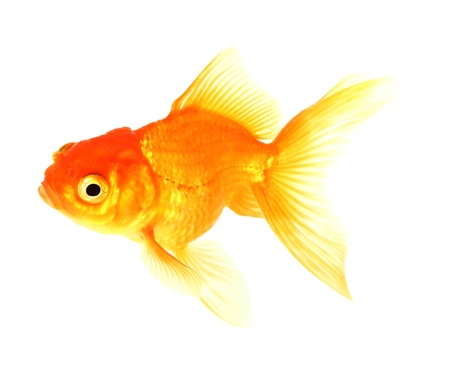 Gold fish  Isolation  on the white Stock Photo - 17422024