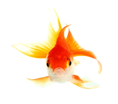 tropical fish: Gold fish  Isolation  on the white Stock Photo