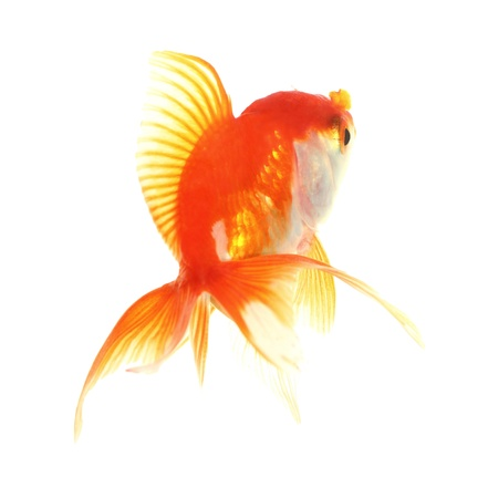 Gold fish. Isolation on the white Stock Photo - 18002528