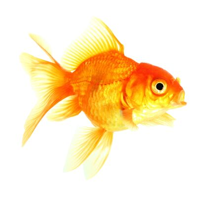 Gold fish. Isolation on the white Stock Photo - 18002568
