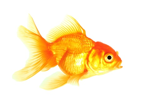 Gold fish. Isolation on the white Stock Photo - 18002527