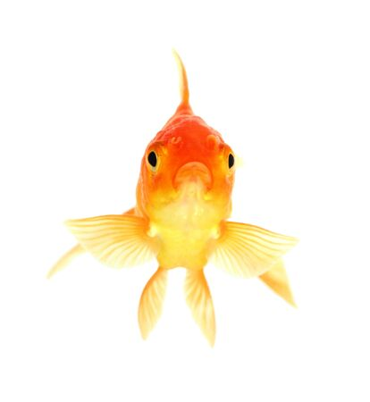 Gold fish. Isolation on the white Stock Photo - 18002514