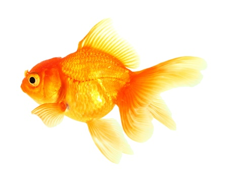 Gold fish. Isolation on the white Stock Photo - 18002523