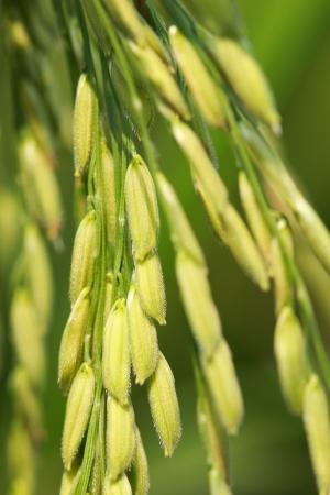rice crop: rice field