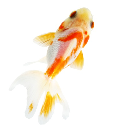 Gold fish. Isolation on the white Stock Photo - 18002535
