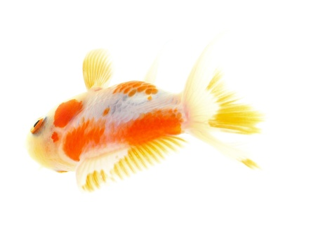 Gold fish. Isolation on the white Stock Photo - 18002516