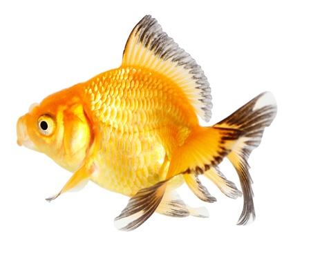 Gold fish. Isolation on the white Stock Photo - 18002587