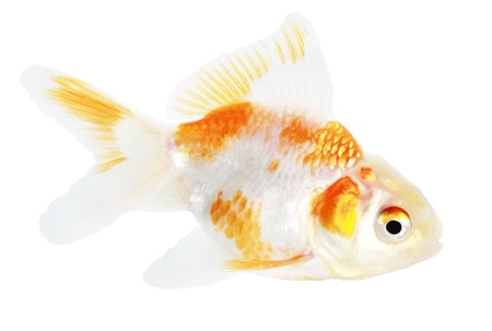 Gold fish. Isolation on the white Stock Photo - 18002564