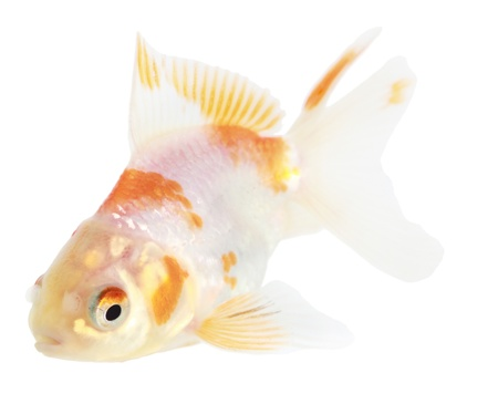 Gold fish. Isolation on the white Stock Photo - 18002541
