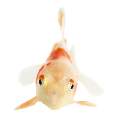 Gold fish. Isolation on the white Stock Photo - 18002513