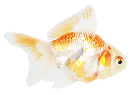 Gold fish. Isolation on the white Stock Photo - 18002581