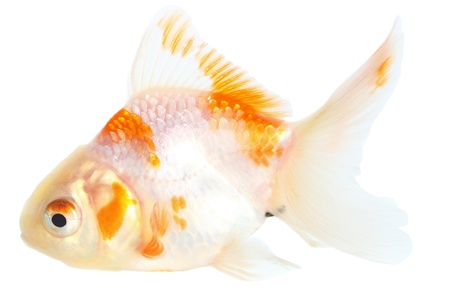 Gold fish. Isolation on the white Stock Photo - 18002596