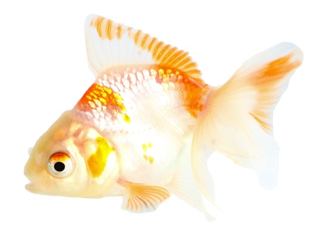 Gold fish. Isolation on the white Stock Photo - 18002578