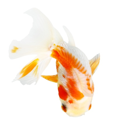 Gold fish. Isolation on the white Stock Photo - 18002532