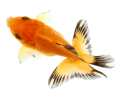Gold fish. Isolation  on the white Stock Photo - 18002547