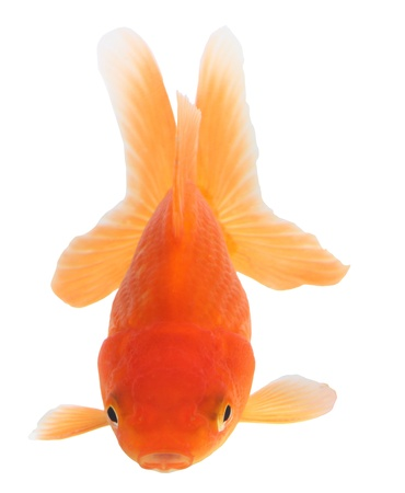 Gold fish. Isolation  on the white Stock Photo - 18002537
