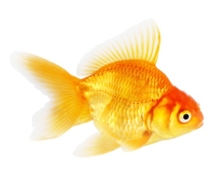 Gold fish. Isolation  on the white Stock Photo - 18002599