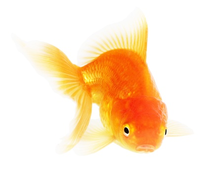 Gold fish. Isolation  on the white Stock Photo - 18002576