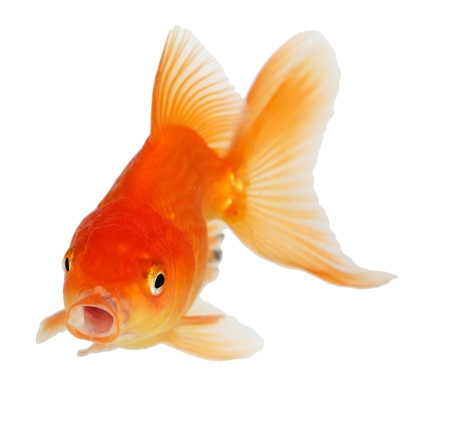 Gold fish. Isolation  on the white Stock Photo - 18002538