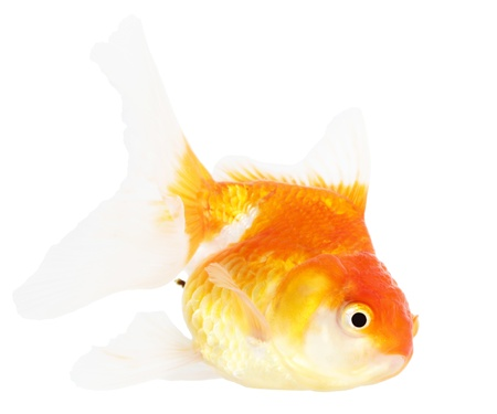 Gold fish  Isolation  on the white Stock Photo - 18465408
