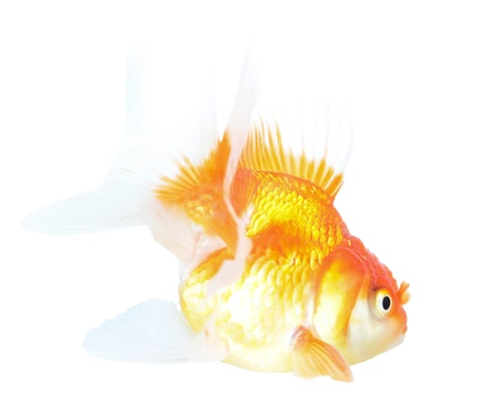 Gold fish  Isolation  on the white Stock Photo - 18465425