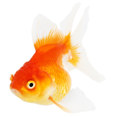 Gold fish  Isolation  on the white Stock Photo - 18465406