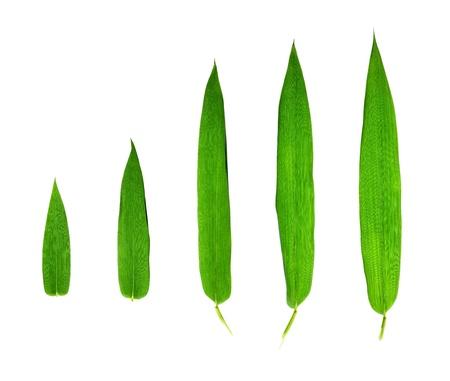 竹の葉に孤立した白い背景