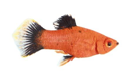 pez pecera: Molly peces aislados en blanco