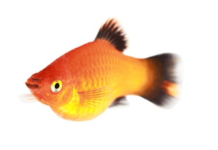 Molly fish isolated on white Stock Photo - 21006344