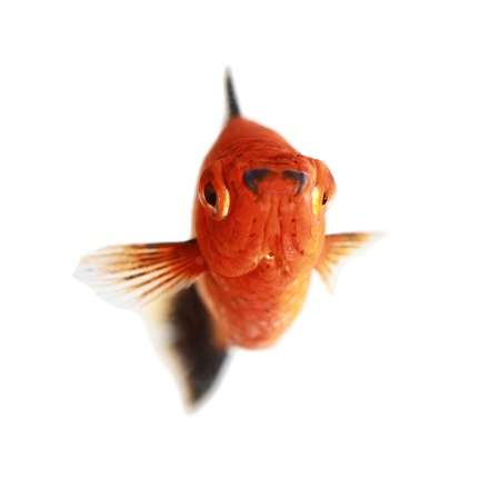 marbled molly: Molly fish isolated on white