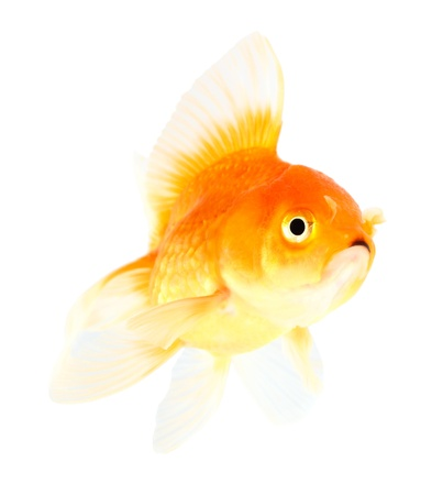 Gold fish. Isolation  on the white Stock Photo - 21006396