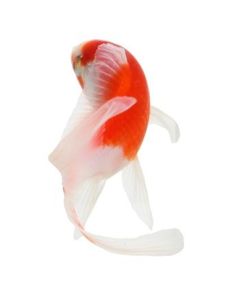 白い背景の上の鯉の分離