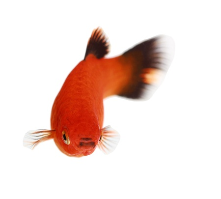 Molly fish isolated on white Stock Photo - 21012994