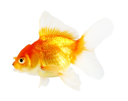 Gold fish. Isolation  on the white Stock Photo - 21150472
