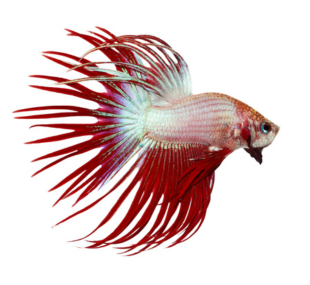 crown tail: siamese fighting fish , betta isolated on white background Stock Photo