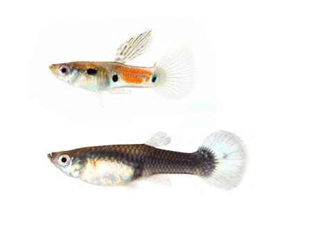 accosting: Guppy fish