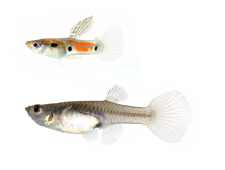 Wild guppy fish isolated on white background (Poecilia reticulata)