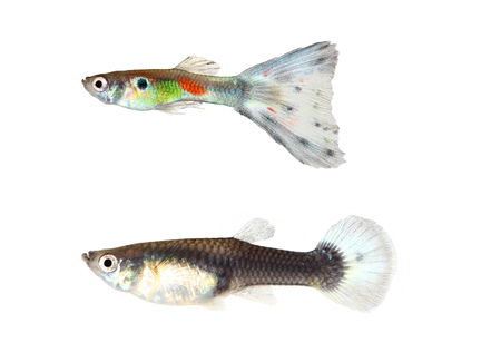 poecilia: Wild guppy fish isolated on white background (Poecilia reticulata)