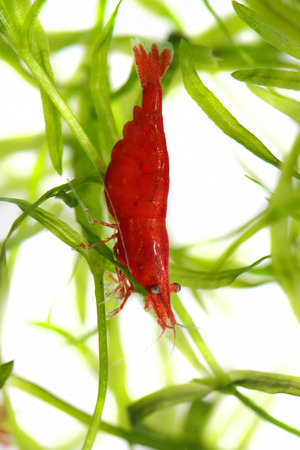 red cherry shrimp photo