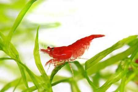 Red cherry Garnelen Standard-Bild - 23652734