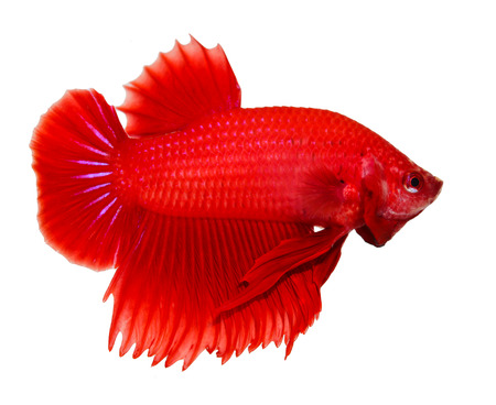 fire fin fighting: siamese fighting fish , betta isolated on white background Stock Photo