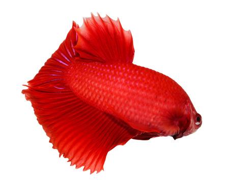 siamese fighting fish , betta isolated on white background Stock Photo - 23653555