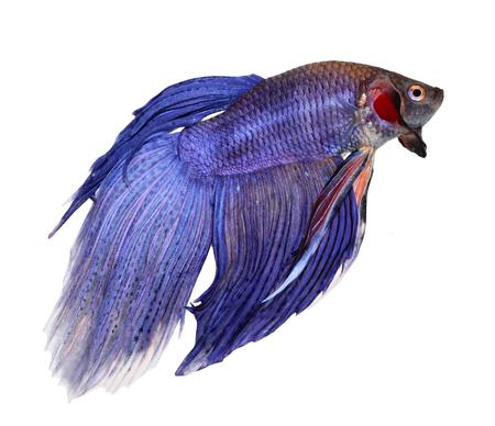 freshwater aquarium fish: siamese fighting fish , betta isolated on white background Stock Photo