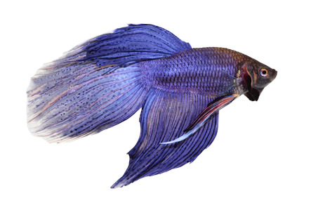 siamese: siamese fighting fish , betta isolated on white background Stock Photo