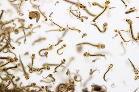 mosquito's larva in water 写真素材