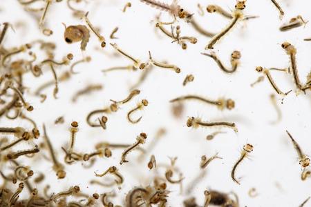 mosquitos larva in water Stock Photo