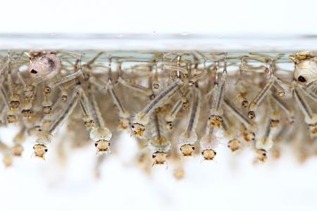 mosquito's larva in water Stock Photo - 25208883