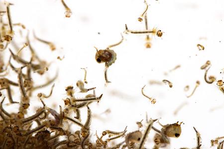 水の蚊の幼虫