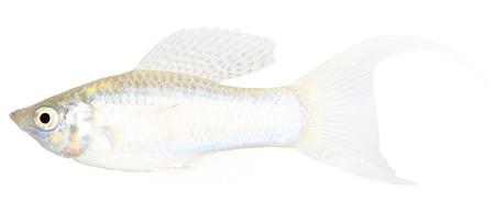 Molly fish isolated on white Stock Photo - 25278107