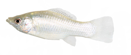 Molly fish isolated on white Stock Photo - 25278108